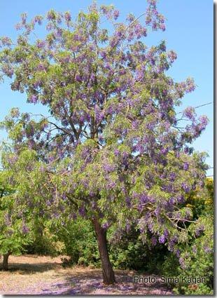 בולוסנתוס נאה 'עץ הויסטריה' - Bolusanthus speciosus
