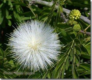 haematocephala Calliandra 'alba'