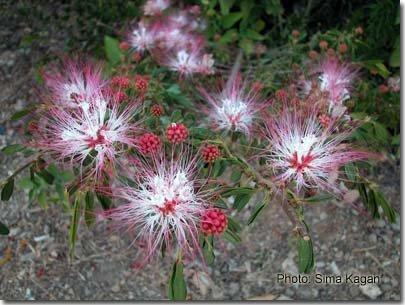 Calliandra schultzii