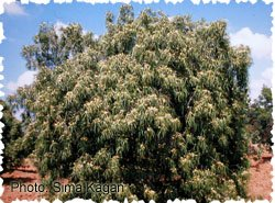 Eremophila bignoniiflora