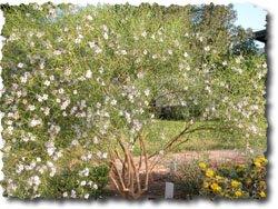 Eremophila bignoniiflora x polyclada