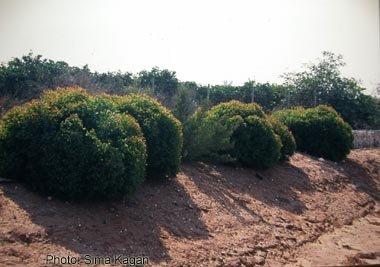 אקליפטוס מסמרי 'כדורי-קקל' - Eucalyptus gomphocephala 'Kaduri-Kkl'