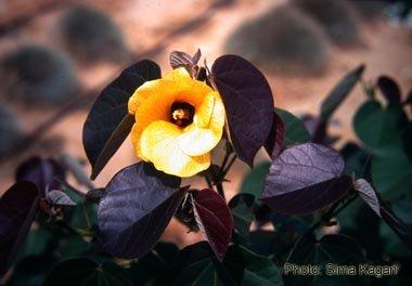 היביסקוס טליתי 'סתריה'  Hibiscus tiliaceus  'Sitriya'