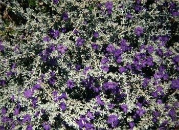 Leucophyllum candidum