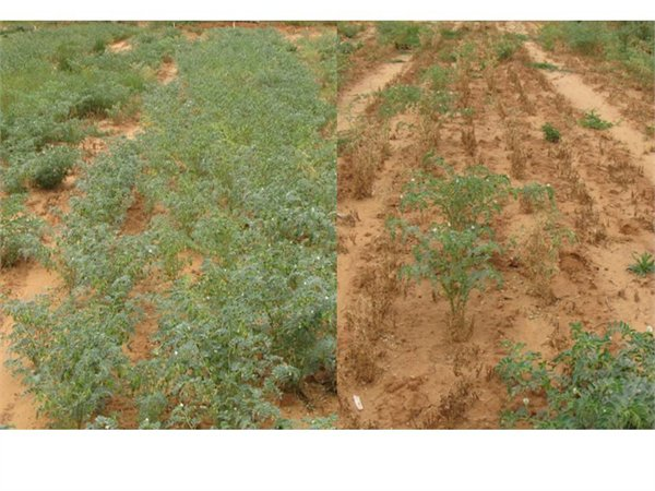 Chickpea trial plots