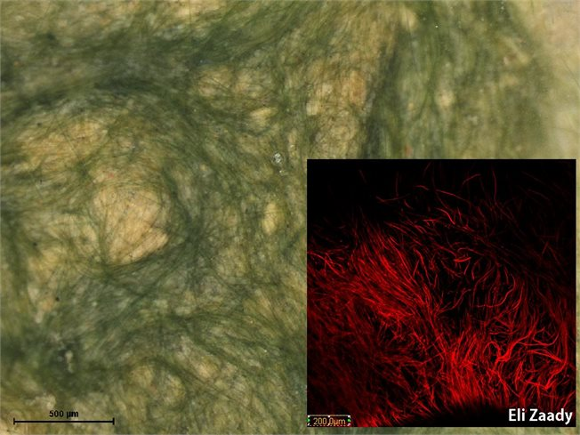 Microcoleus in confocal microscope