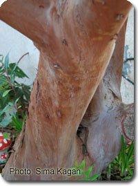 Arbutus andrachne