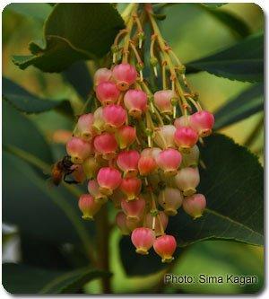 Arbutus x andrachnoides 'Marina'