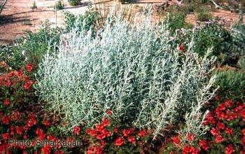 Artemisia ludoviciana 'Silver King'