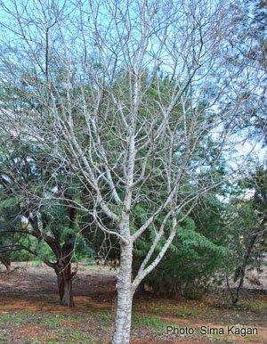 מייש דרומי  Celtis australis