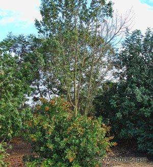 חרוב מצוי Ceratonia siliqua