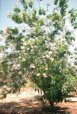 Chitalpa tashkentensis