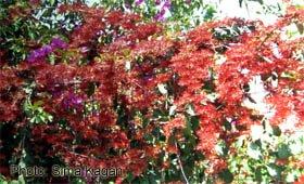 Combretum micorphyllum
