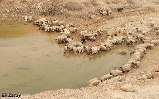 Sheep near water in the Judean Desert