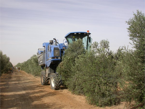 A vine harvester used for olive harvesting