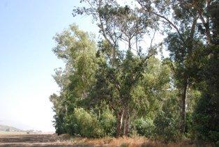 Eucalytus tree
