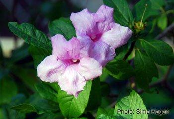 Delostoma integrifolium
