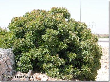Eucalyptus gomphocephala 'Kaduri-Kkl'