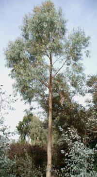 Eucalyptus nicholii
