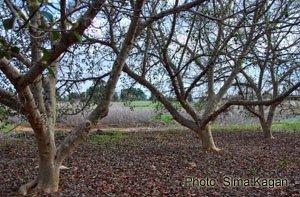 פיקוס השקמה Ficus sycomorus