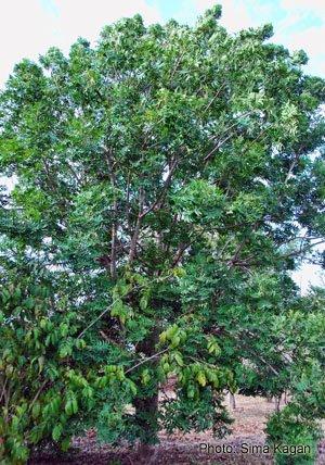 מגלון אפריקאי Harpephyllum caffrum