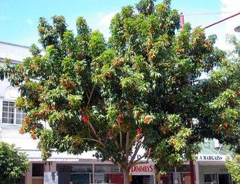 Harpullia arborea