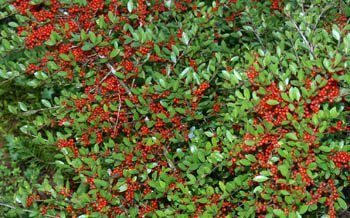 Ilex vomitoria Pride of Houston