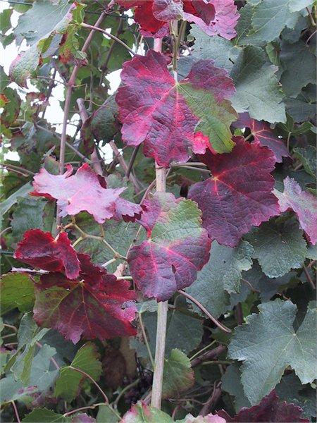 red variety w/ phytoplasma
