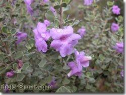 Leucophyllum 'San-Jose'