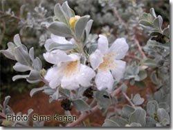 Leucophyllum frutescens 'Alba'