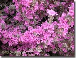 Leucophyllum frutescens 'Compactum'