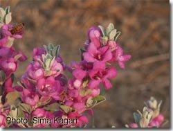 Leucophyllum frutescens 'Fairy Duster'
