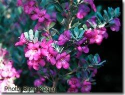 Leucophyllum frutescens 'Silverado'