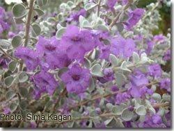 Leucophyllum zygophyllum 'Cimarron'