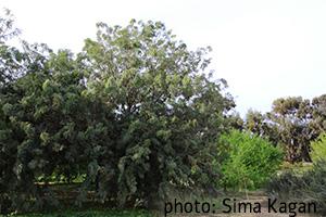 Lysiloma watsonii