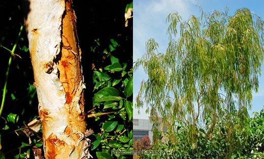 Melaleuca argentea