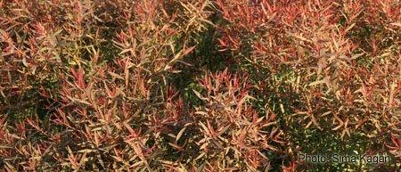 Melaleuca linarifolia 'Claret Tops'