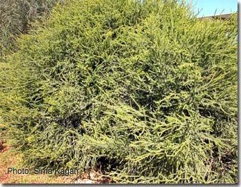 Melaleuca microphylla