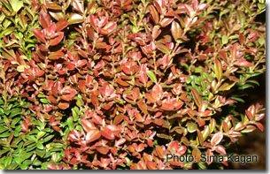 Myrcianthes fragrens