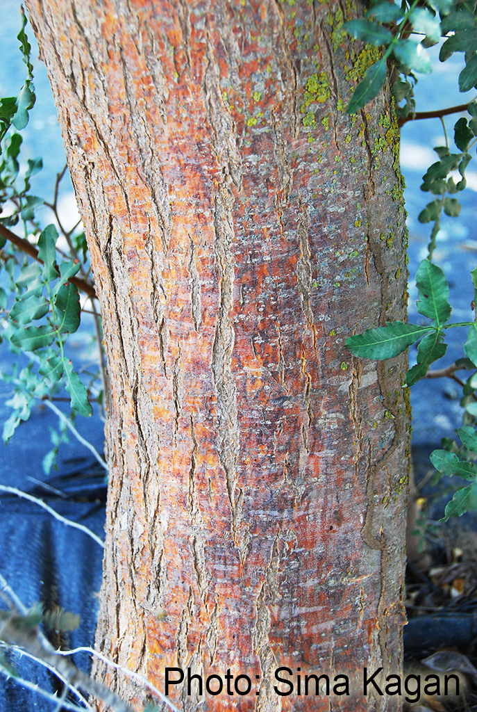 Myrospermum sousanum