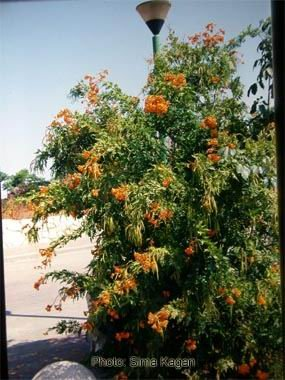 Tecoma 'Orange Jubilee'