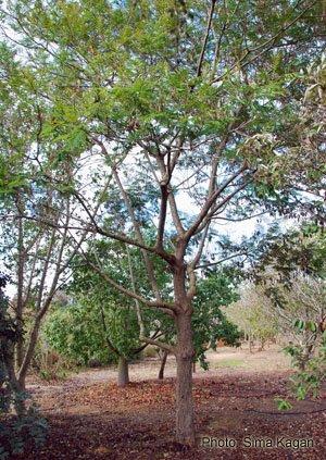 שלטית  אפריקנית Peltophorum africanum