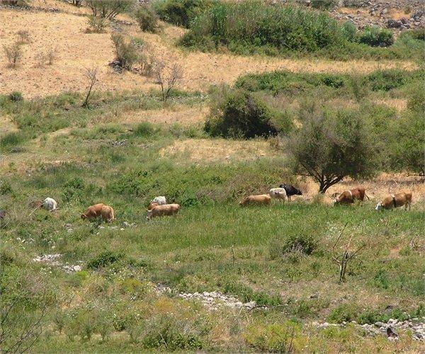 Cattle in riparian zone