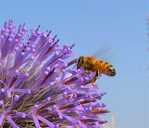 Bee foraging on rangeland
