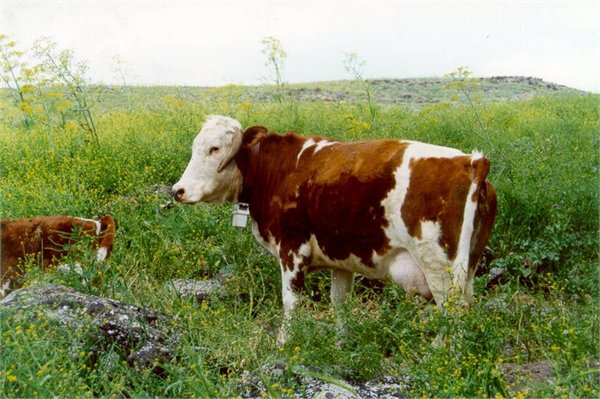 Beef cow on mediterranean rangeland