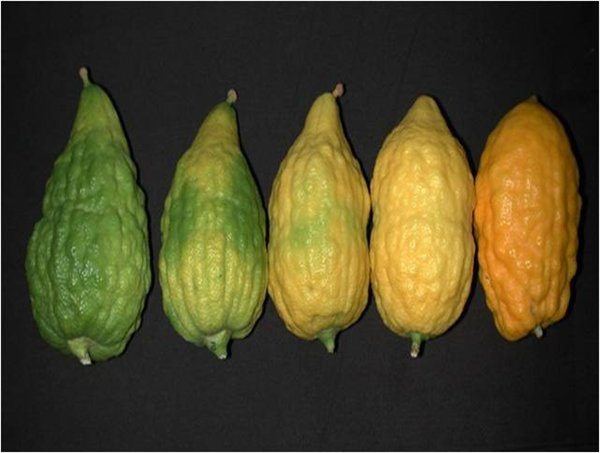 Etrog fruits