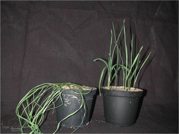 Drought resistant wheat seedlings