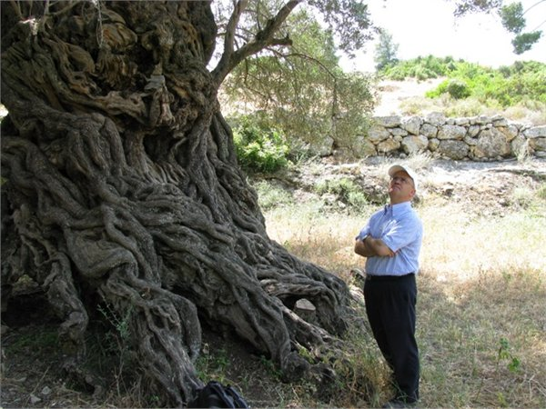 Old olive tree at Bet G'imal monastery