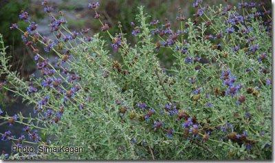 Salvia x 'Trident'