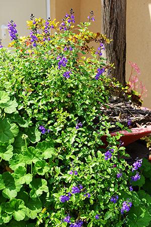Salvia X 'Mesa Azure'
